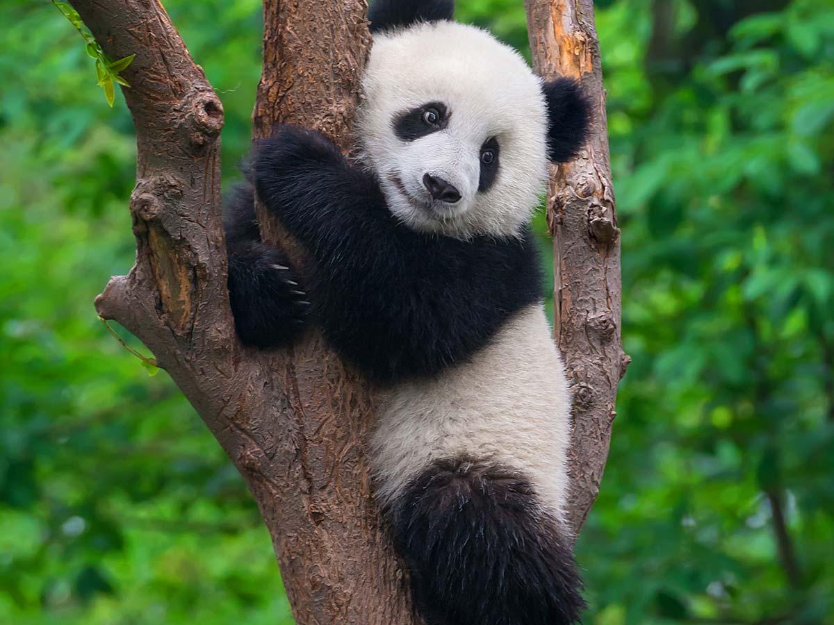 Panda-china