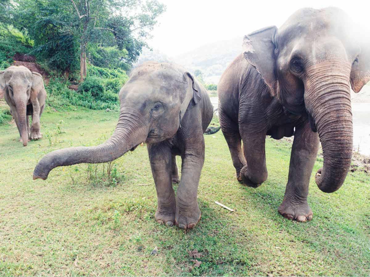 thailand-chiang-mai-elephants