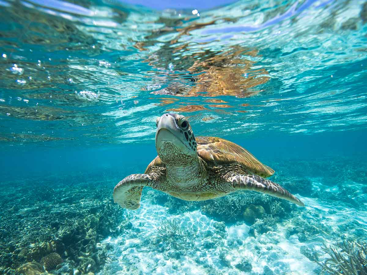 turtle-barrier-reef-queensland